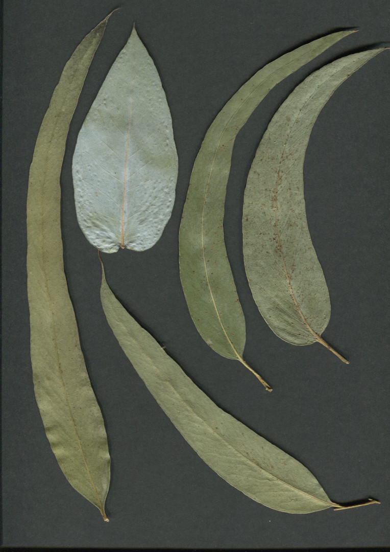 Eucalyptus leaves from Vaitea © Photo Astrid de la Chapelle